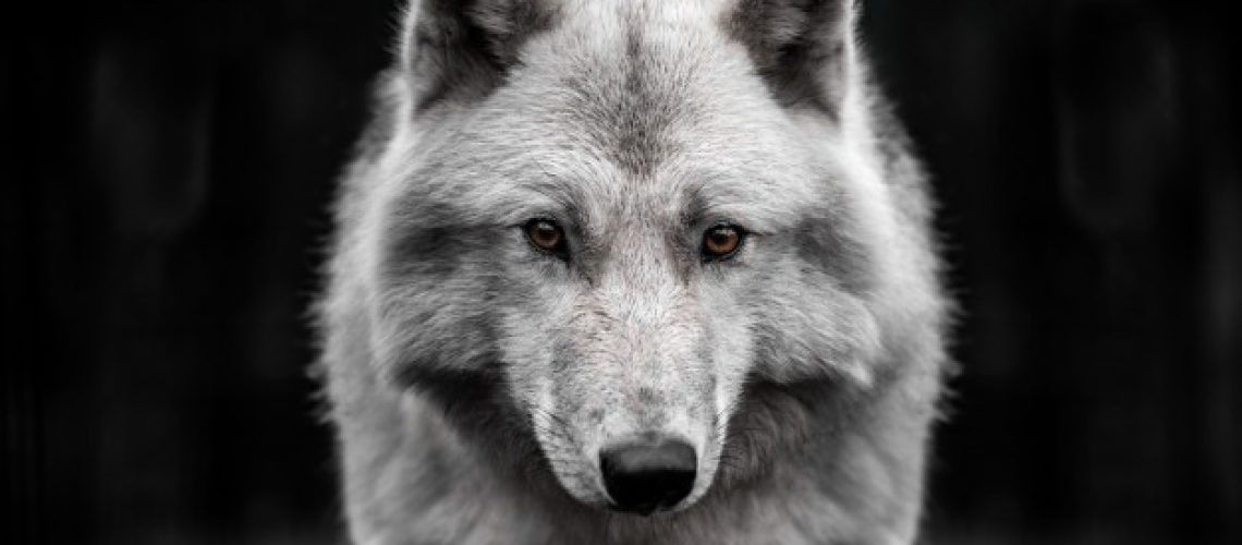 portrait-polar-wolf-handsome-young-male_95945-180